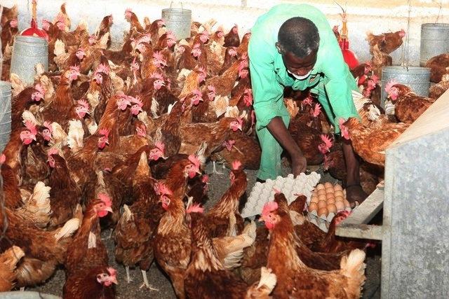 Aviário do Lubango com cinco mil frangos sem comprador